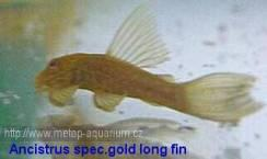 Ancistrus spec  gold long fin