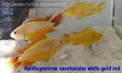 Apistogramma cacatuoides white gold red
