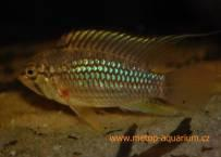 Apistogramma sp.Playayacu