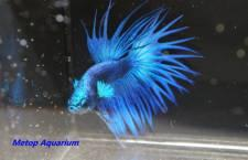 Betta crowntail blue