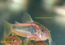 Corydoras sp.red stripe