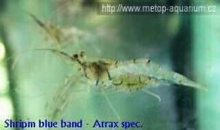 Shripm blue band   Arrax spec